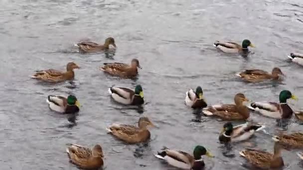 Vadkacsák érkeztek a folyóra a városban, és városi madarakkal éltek. A város lakói etetik a madarakat, amelyek a hideg téli folyóban gyülekeznek..