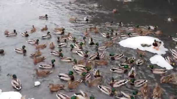 Divoké kachny dorazily na řeku ve městě a žijí s městskými ptáky. Obyvatelé města krmí ptáky, kteří se hrnou v chladné zimní řece.