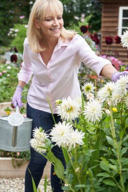 Mature Woman Watering Dahlia Flowers In Garden At Home