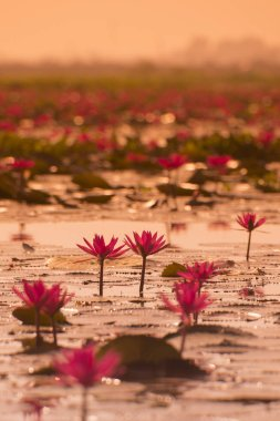 The Lotus Lake of Kumphawapi in Thailand