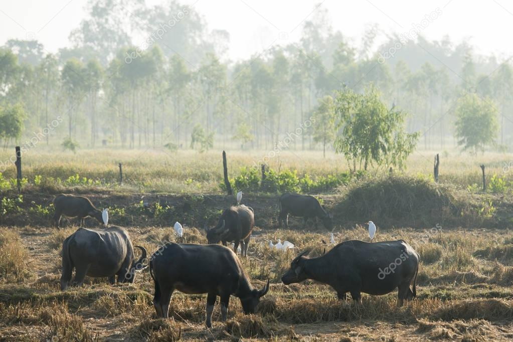 agriculture with buffaloes near the city of Udon Thani in Thailand