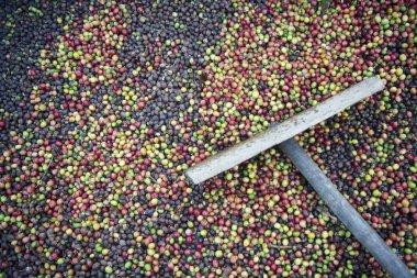a coffee plantation in Thailand