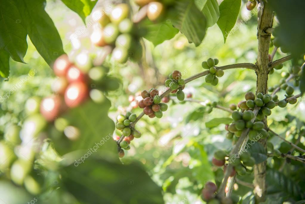 coffee Harvest  at the coffee plantation