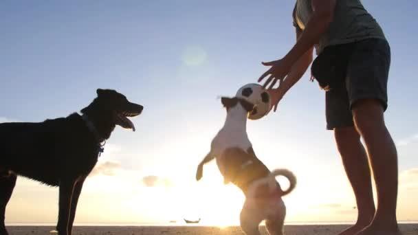 Jack Russell Terrier Hund spielt am Strand bei Sonnenuntergang