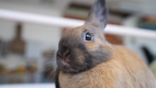 Detailní hlava legrační malý králík s hnědou kožešinou