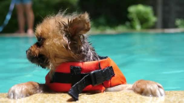 Vtipné třesoucí pes v bazénu nosit záchrannou vestu