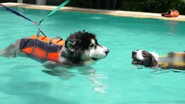 Zwei Hunde schwimmen in Schwimmwesten im Schwimmbad