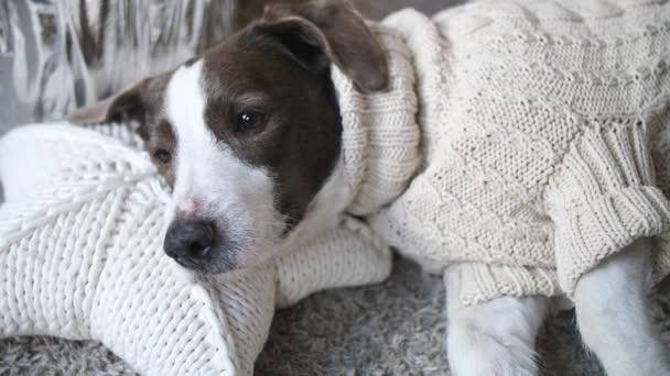 Hund im Strickpullover auf Kissen liegend entspannt zu Hause