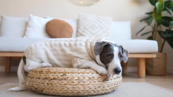 Cute Dog Lying On Wicker Stool At Home Wearing Knitted Sweater