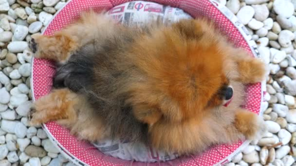 Cute Pomeranian Dog Resting Outdoors. Funny Animals.
