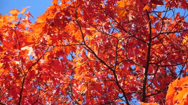 Maple Tree In Autumn With Red Leaves