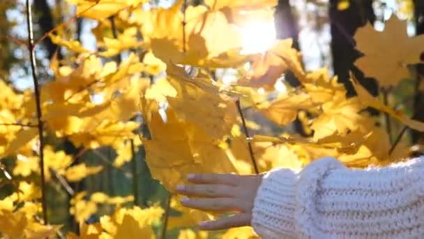 Hand In kötött pulóver megható sárga juhar levelek ősszel Sunny háttér