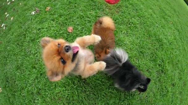 Small Cute Pomeranian Dogs Playing Outdoors on Green Grass