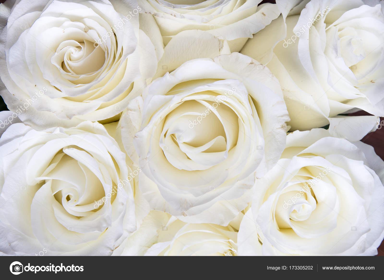 wei e rosen vollbild hintergrund wei e bl ten tolle rosen hochzeit stockfoto cyndyk ids. Black Bedroom Furniture Sets. Home Design Ideas