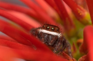 Macro of spider (Jumping Spiders Santa Claus) insect