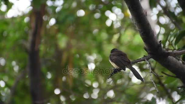 Madár (Pied legyezőfarok légykapó) egy fa