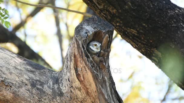 Uccello (Spotted civetta, gufo) nel tronco cavo