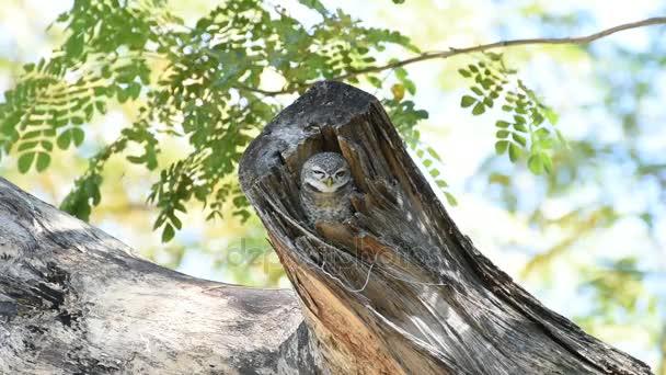 Madár (foltos törpekuvik, Owl), üreges fa törzse