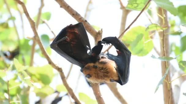 Fledermaus (Flying Fox) an einem Baum hängen