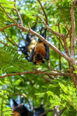 Bat (Flying fox) hanging on a tree