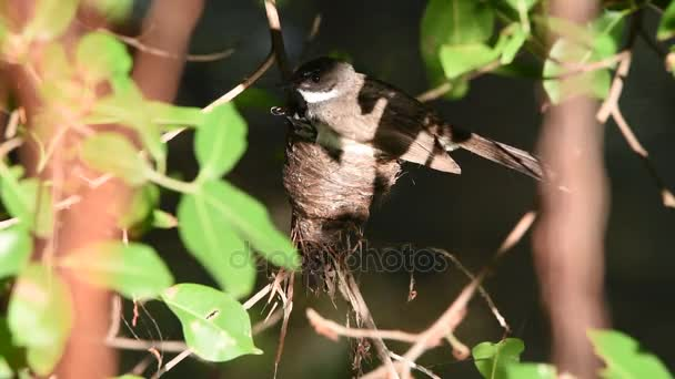 Uccello (balia nera Fantail) e bambino nel nido