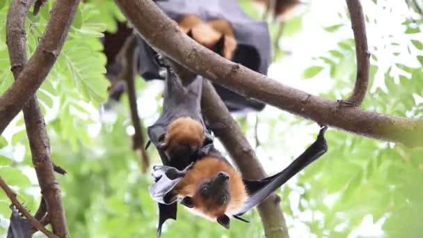 Fledermaus (Flughund) hängt an einem Baum