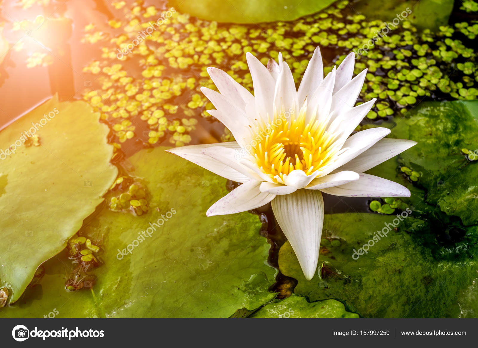 Lotus flower tropical water lily stock photo pongmoji 157997250 lotus flower lotus water lily tropical water lily or nymphaea nouchali white and yellow color naturally beautiful flowers in the garden photo by izmirmasajfo
