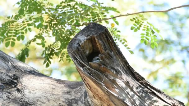 Bird (Spotted owlet; Owl) in hollow tree trunk