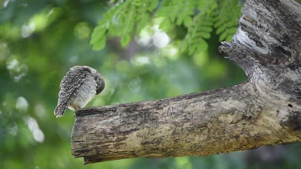 Pták (Sýček brahmínský; Sova) na stromě