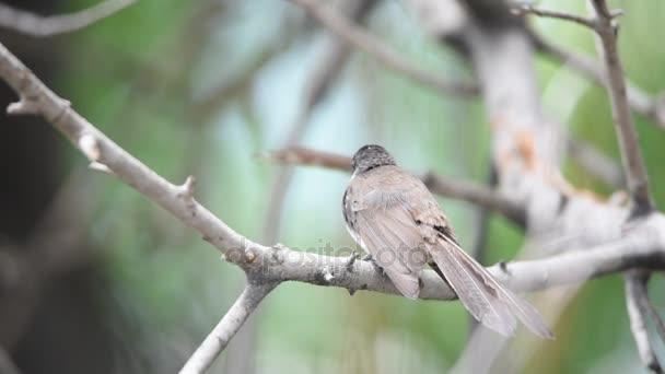 Pták (Pied Fantail Flycatcher) na stromě