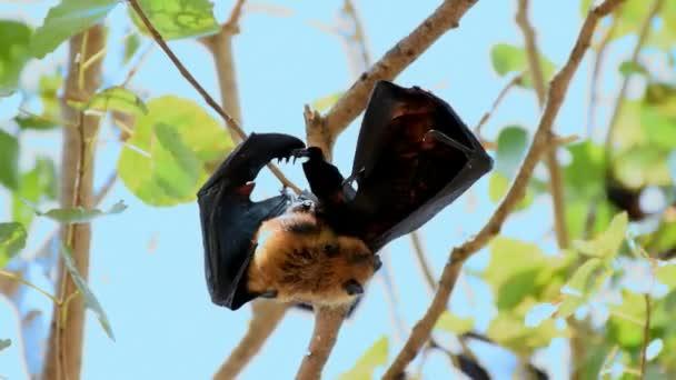 Fledermaus (Lyles oder Flying-Fox, Pteropus Lylei Pteropodidae) thront auf einem Baum in der freien Wildbahn hängend