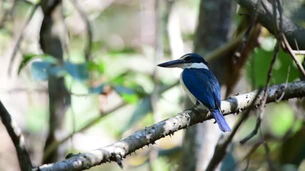 Pták (Ledňáček límcem, s límečkem bílá kingfisher) modrá barva a bílá límec kolem krku sedí na stromě v divoké přírodě mangrovových