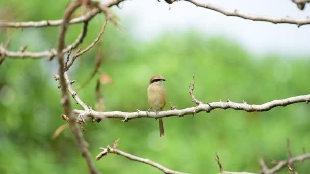 Pták (hnědá ťuhýk, Lanius cristatus) hlavně hnědé na horní části a ocas je zaokrouhlena černou masku a má bílé čelo nad ním sedí na stromě v divoké přírodě