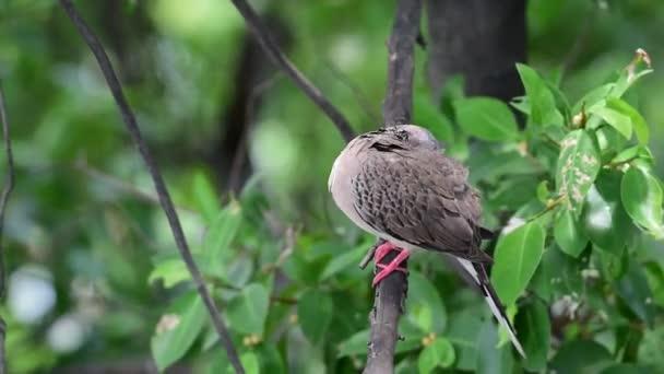 Ptáků (holubi, holubice nebo rozcestník) holubi a holubice jsou pravděpodobně nejběžnější ptáků na světě na stromě v divoké přírodě mangrovových