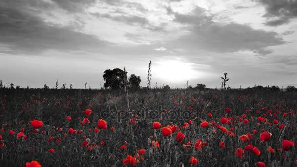 Bellissimo Campo Di Papaveri In Fiore Rosso Con Sfondo Bianco E Nero