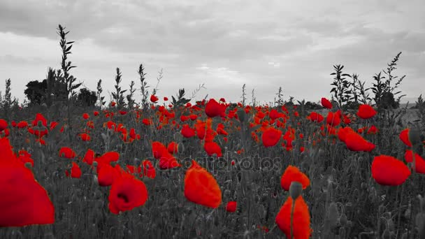 Beautiful field of red blossom poppies with black and white background