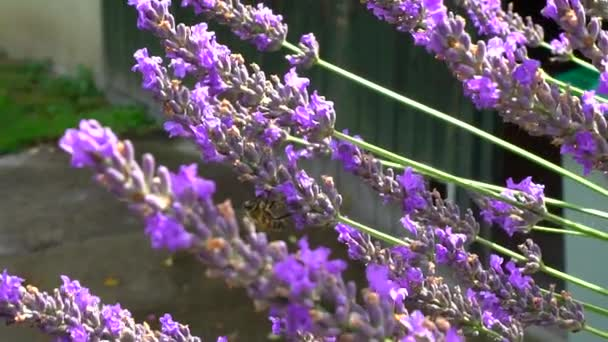 Bumblebee and bees flying over lavender, sunny day, slow motion view of natural life