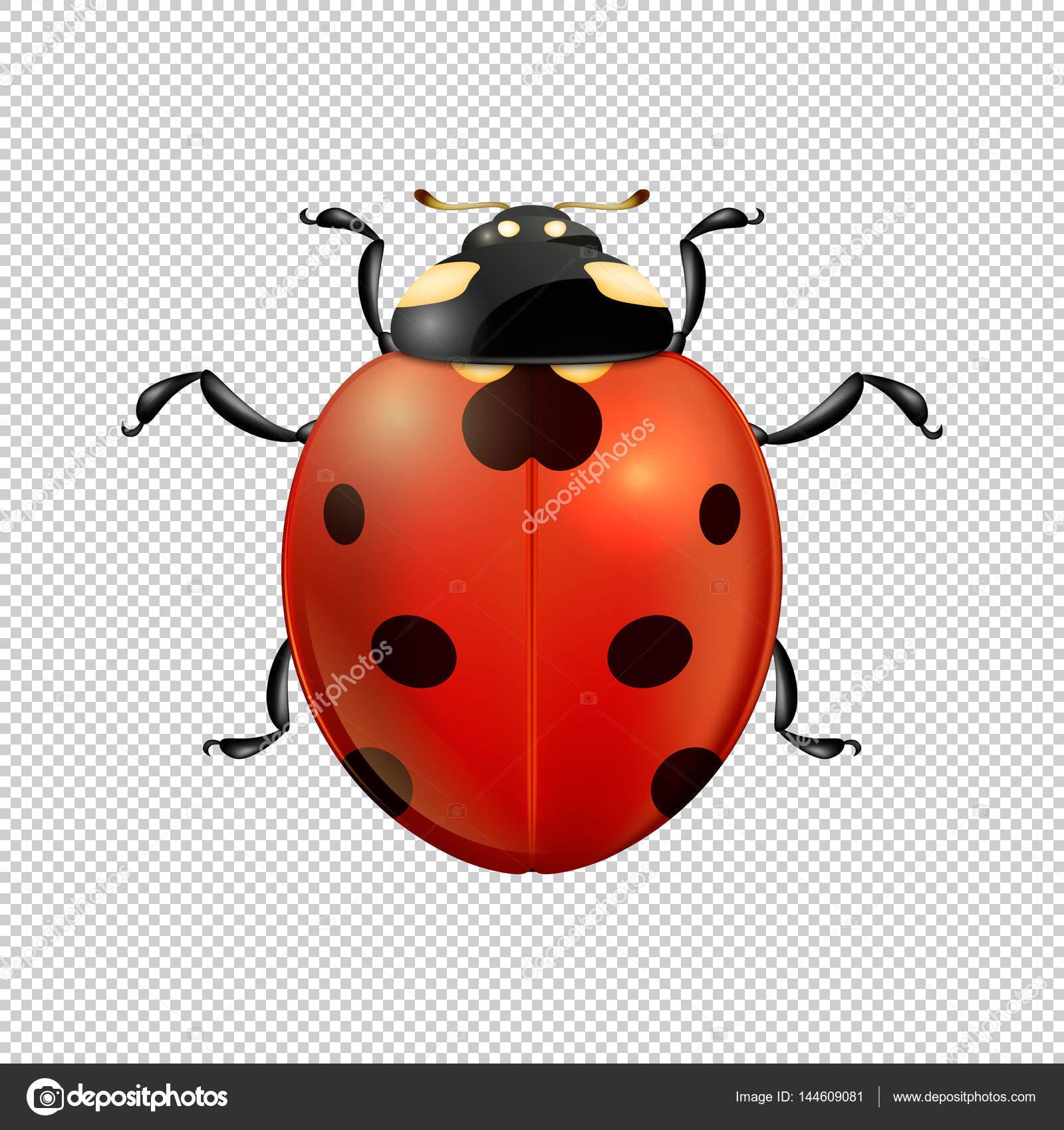 Aislado de insectos icono vector mariquita realista cerca. Plantilla ...