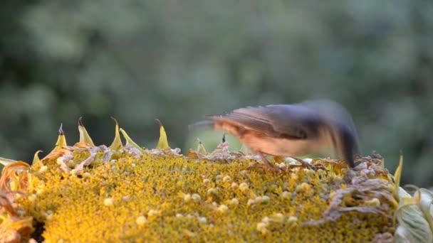 Jiné ptáky, klování semena slunečnice