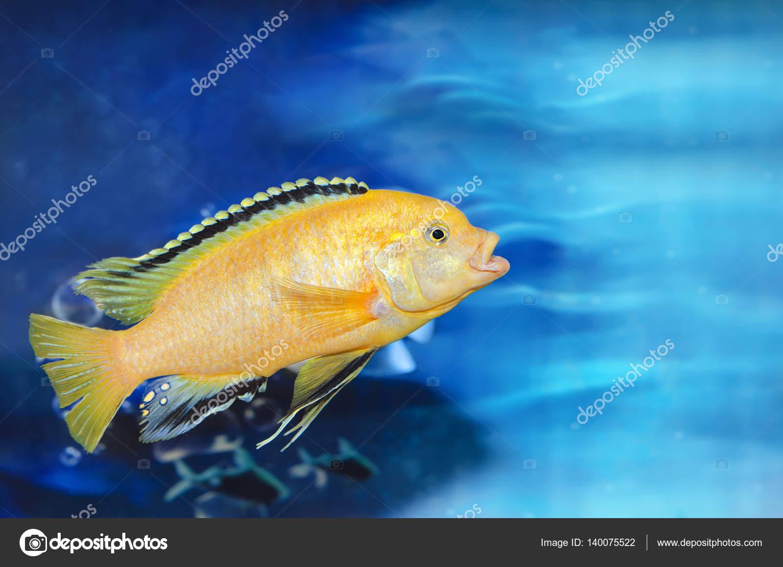 Sfondo Blu Acquario Con Un Pesce Giallo Foto Stock