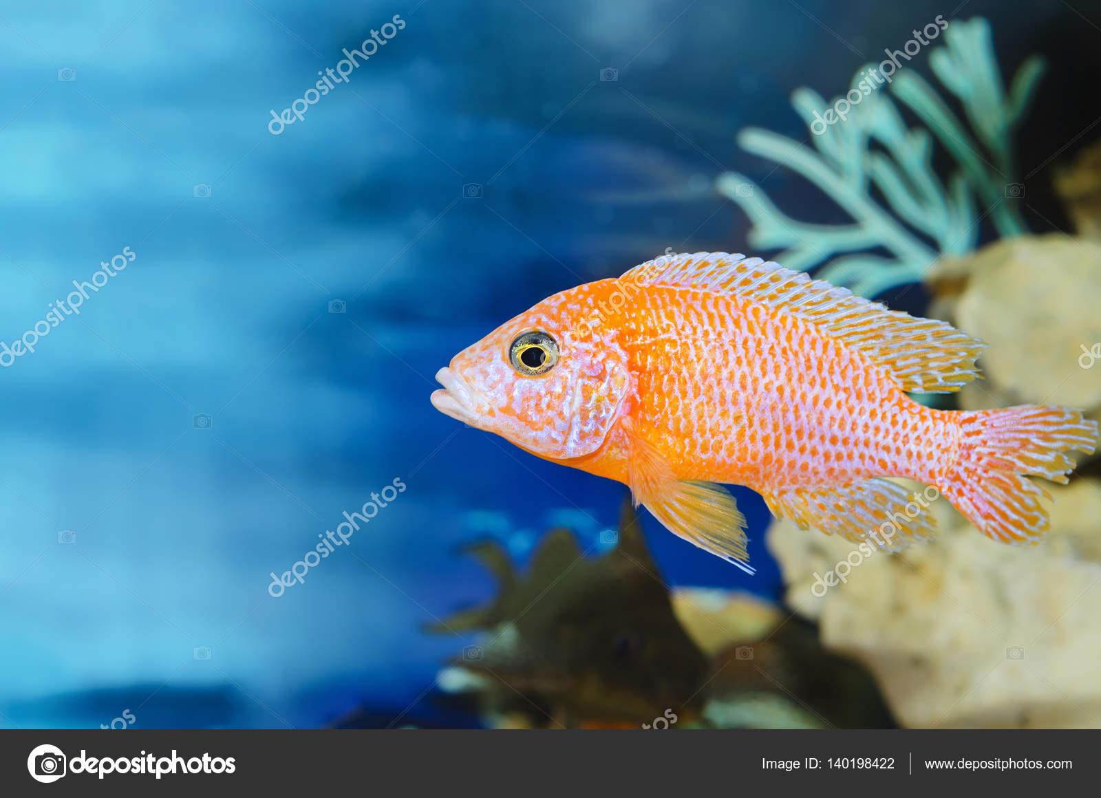 Sfondo Blu Acquario Con I Pesci Rossi Foto Stock