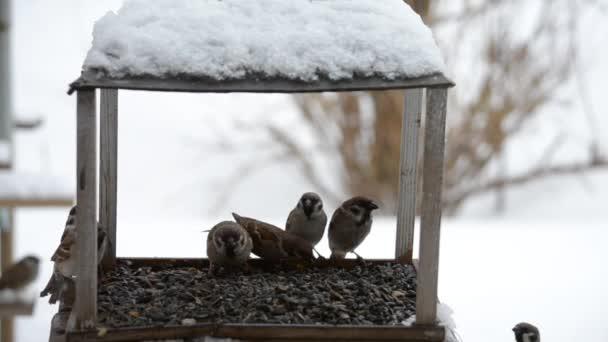 Ptáci vrabci klování semena v zimě