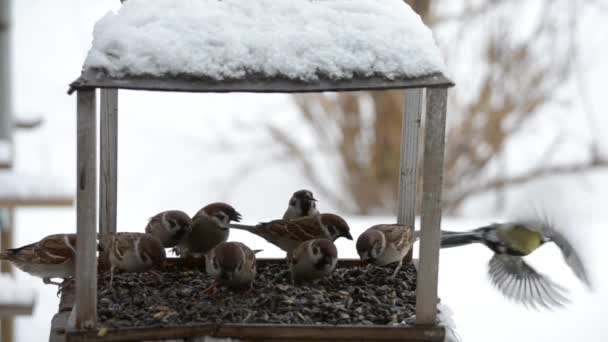 Ptáci vrabci klování semena v zimě v podavači