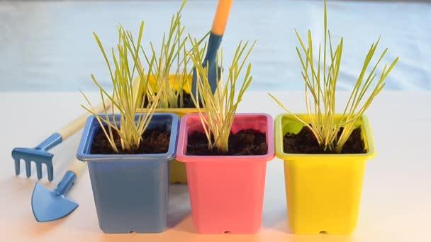 Péče bylinky v květináčích, okopávání a zalévání rostlin