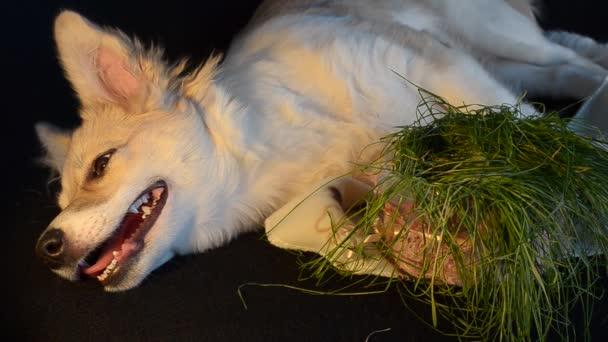 Pes snědl trávy a chce spát