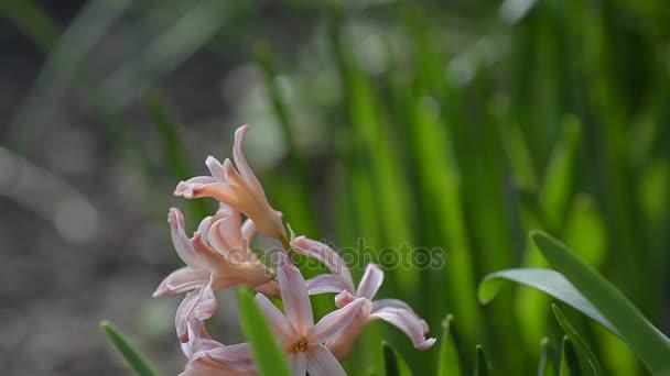 Hyacint kvete na jaře. Detail.
