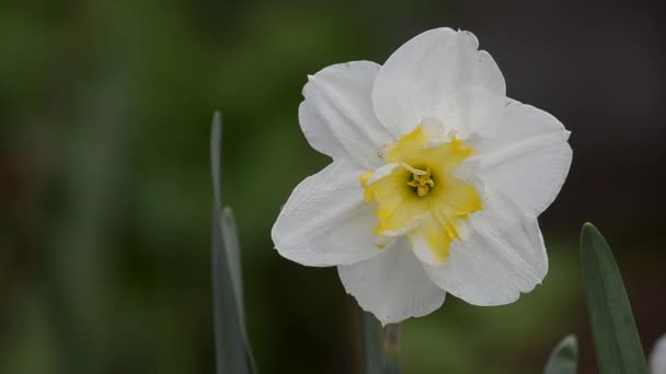 Spring flowering Narcissus