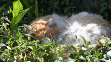 Old cat sleeping in the grass