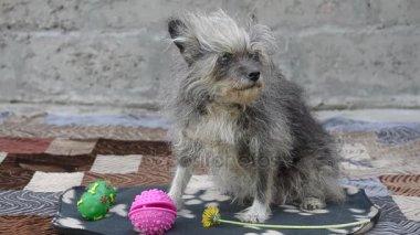 Starý pes sedí na dvoře