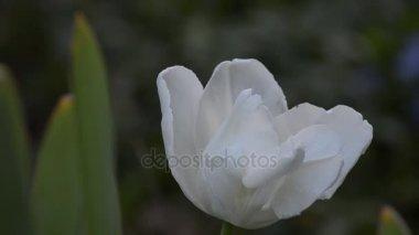 Tulip blooms in nature
